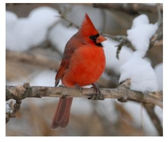Cardinals beautiful birds of Ontario