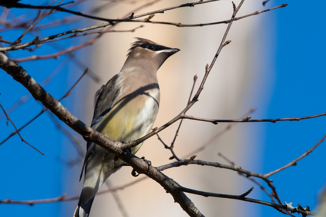 Cedar Waxwing on a tree branch in the sunshine