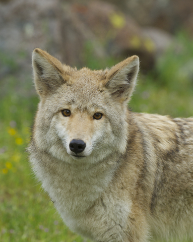 Coyote looking at camera with trees in the background