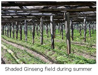 shaded ginseng growing Delhi Ontario