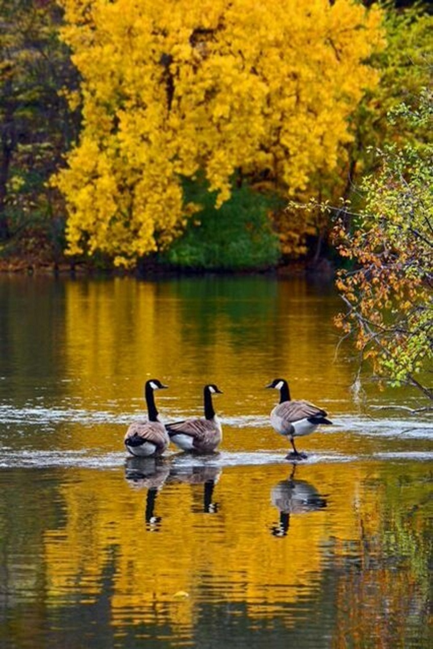 Three geese in Canada in Fall on a Canadian lake