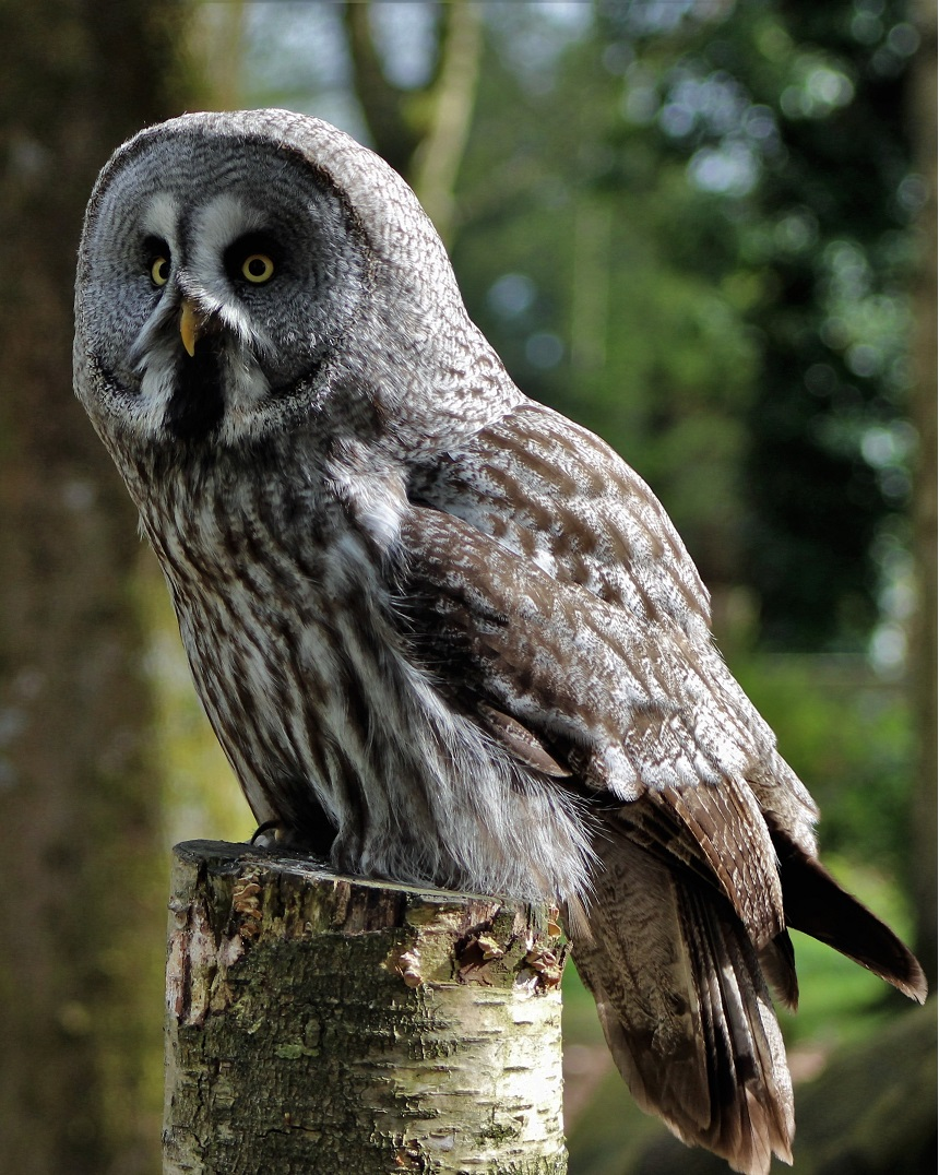 Great Grey Owl on tree stump daylight