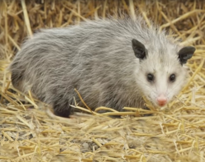 Possum with pink nose standing on straw, Virginia Opossum