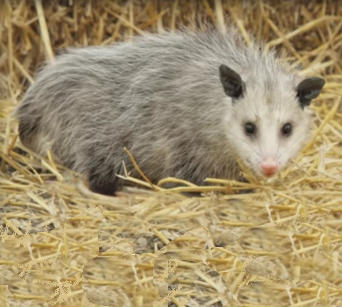 Virginia Opossum now found in Ontario, Canada, this is a small possum