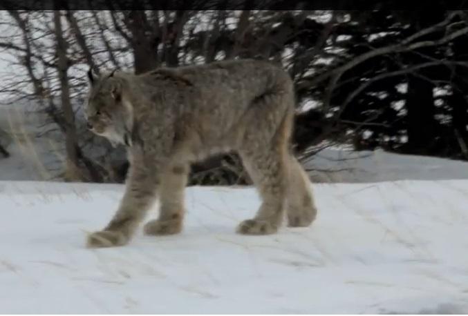 canada lynx range