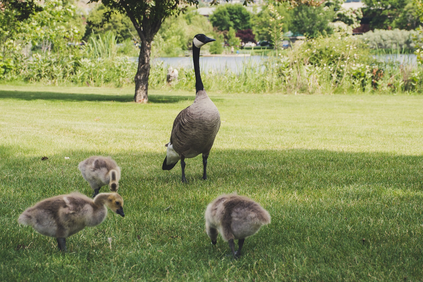 Mother Goose watching over her young goslings, Canada
