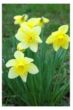Daffodils - springtime beauty - jonquilles in Ontario