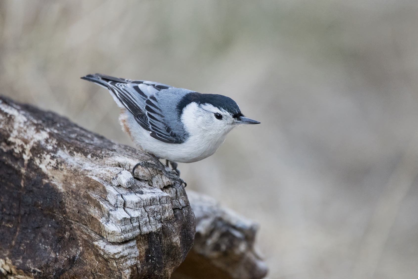 White Breasted Nuthatch in Ontario