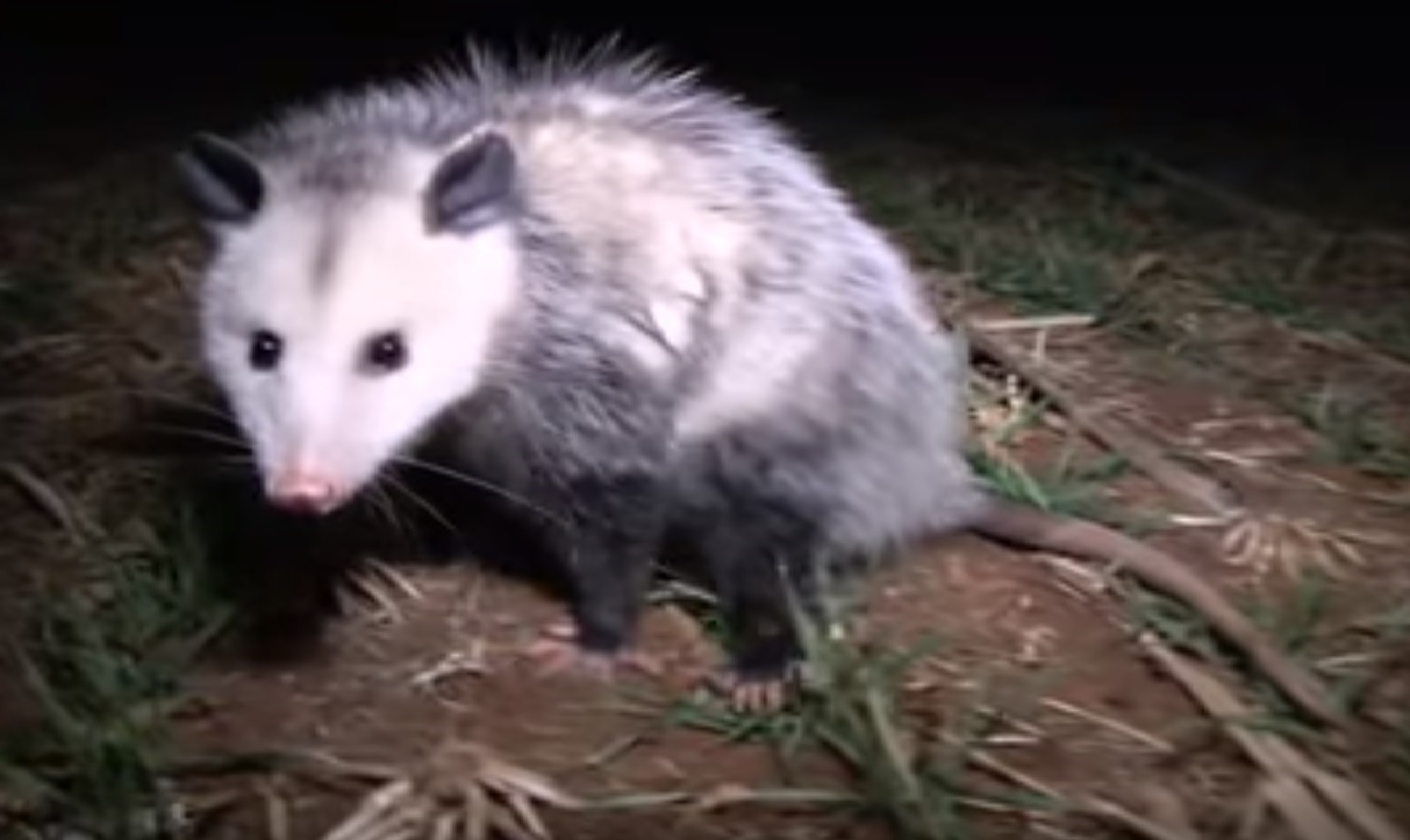 The Virginia Opossum is now found in Canada, Possum on the grass