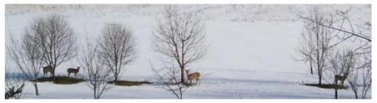 small herd of white tailed deer in the apple orchard, Canada