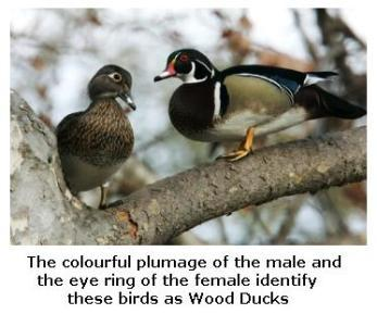 Pair of Wood Ducks on the branch of a tree