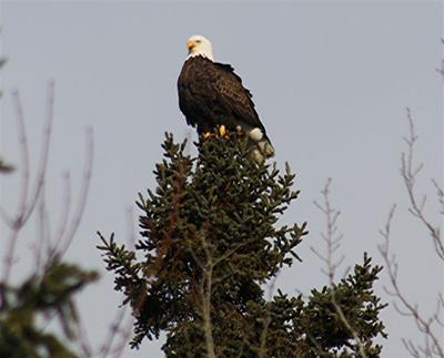 Bald Eagles in Ontario