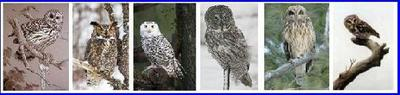 Owls of Ontario
