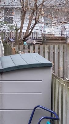 Possum on a morning stroll Ontario