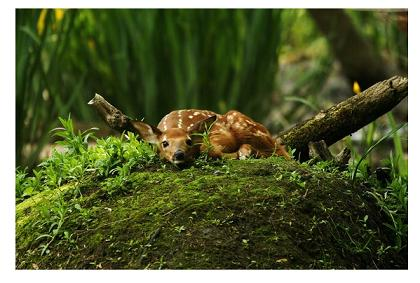 Fawn on a Muskrat Lodge, by Aaron Blanshard, Photographer, London Ontario
