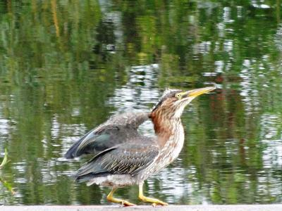 Small Green heron or Bittern in Ontario