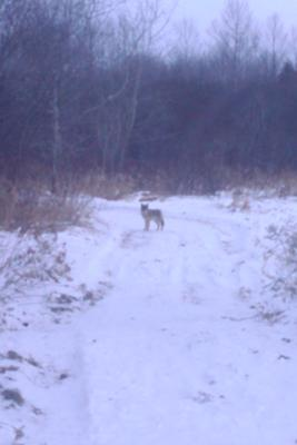 Possible Wolf sighted in Erin, Ontario