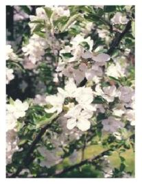 Apple blossom in Spring in Ontario