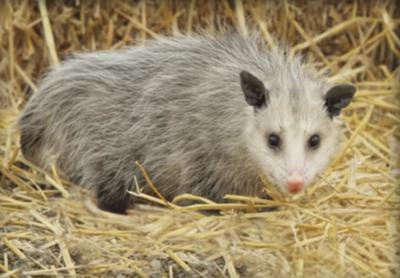 Possum in Ontario