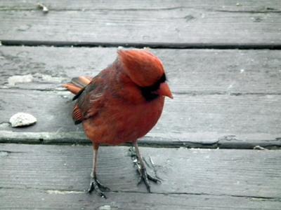 Cardinal Complaining