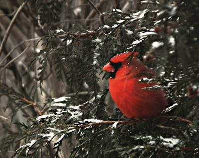 Cardinal seeking a bit of shelter