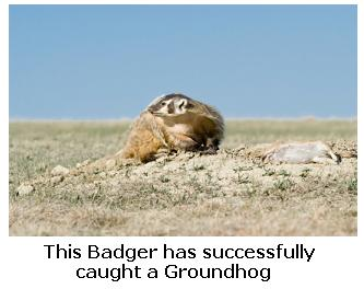North American Badger catching a Groundhog