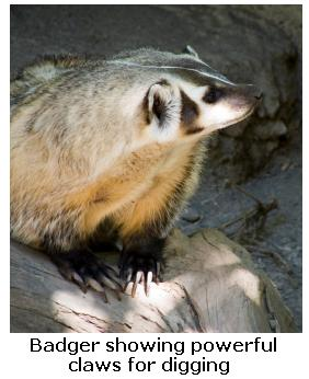 North American Badger showing claws for digging