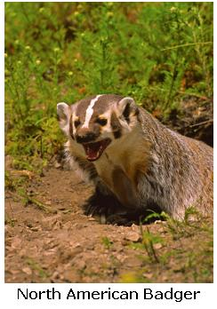 North American Badger - Taxidea taxus