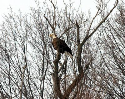 Bald Eagle, Wonderland Road, London
