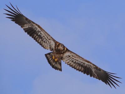 Juvenile Bald Eagle, Brantford, Ontario, Canada