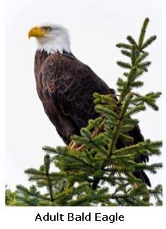 Majestic Bald Eagle in an evergreen tree