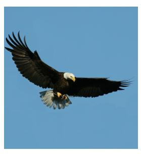 Bald Eagle in flight sighted in Ontario