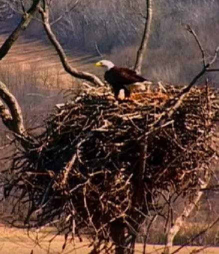 American Eagle building a large nest in a tree