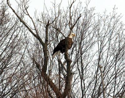 Bald Eagles across Ontario