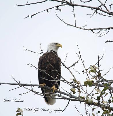 Bald Eagle, Iron Bridge, Ontario
