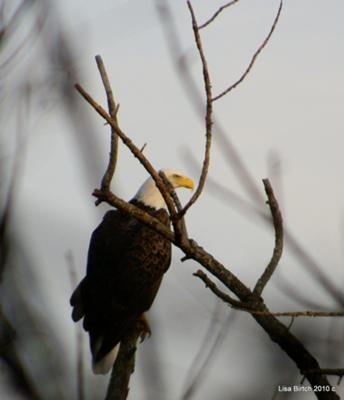 Bald Eagle at Fanshawe Park London
