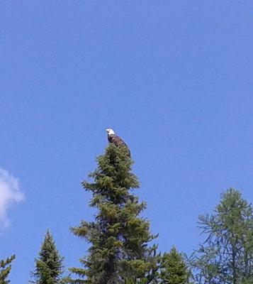 Butler Lake Bald Eagle in Northern Ontario