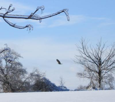 Bald Eagle on Mount Albert Road, near Keswick area