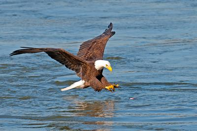 Bald Eagles on water in Ontario