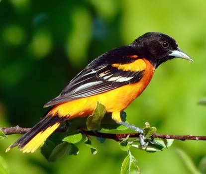Baltimore Oriole on a branch, summer visitor to Ontario, Canada