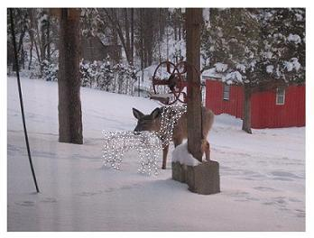 One White Tail Deer in the snow in Ontario looking at the Christmas decorations