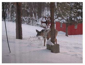 White Tailed Deer checking out the Christmas decoration deer, Beck Line, St Thomas, Ontario