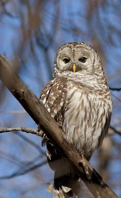 Barred Owl - did the one you saw look like this?