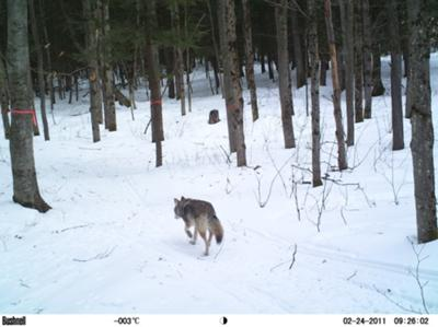 One of 3 wolves on our trail last winter