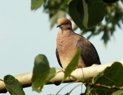 Mourning Dove enjoying the last rays of sunshine