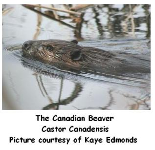 Canadian Beaver in a pond