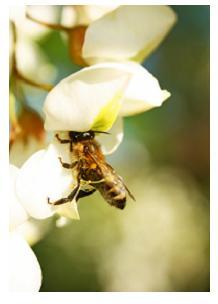 Honey Bee, Ontario, Canada