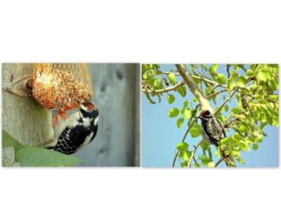 2. Downy Woodpecker & Nutall's Woodpecker