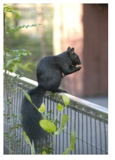 Black phase squirrel sitting on a balcony railing