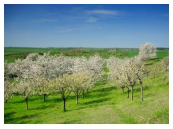 Apple blossom in the orchard in Ontario in Spring